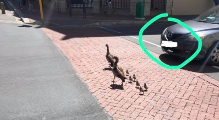 SPCA to open case against impatient CT man seen driving over two goslings in CBD