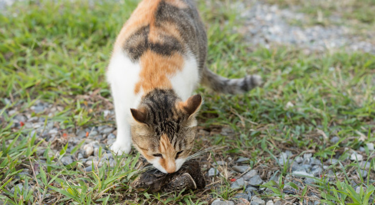 Cape Town's killer cats prey on 27 million local animals every year, study finds