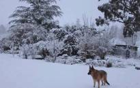 A dog seen in Elliot in the Eastern Cape amid snowfall on 17 August 2017. Picture: @SnowReportSA