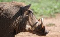 A warthog. Picture: pixabay.com
