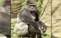 FILE: The gorilla was killed after a four-years-old fell into its enclosure at the Cincinnati Zoo. Picture: Screengrab/CNN.