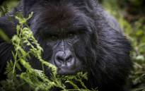 Ubumwe, the silverback from the Amahoro group of gorillas in the Volcanoes National Park, peers out from behind a fern. Picture: Thomas Holder/EWN.