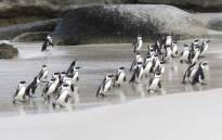 African penguins at Boulders Beach returning from the sea. Picture: Aletta Gardner/Eyewitness News