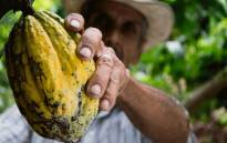 Cocoa planting is driven mainly by new limits on the cattle industry that have changed the financial incentives for ranchers. Picture: Pixabay.com