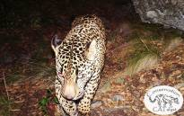 El Jefe only known wild jaguar in the United States. Picture: Facebook.
