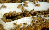 A hive of bees. Picture: Freeimages.com