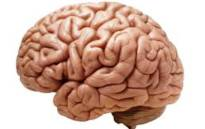 Brain. Picture: Wikimedia Commons.