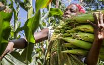 FILE: A woman harvests maize. Picture: Aletta Gardner/EWN