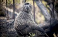 FILE: This file photo shows a young baboon at the Groot Constantia wine estate on 4 March 2015. Picture: EWN