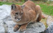 A cougar. Picture: Wikimedia Commons.