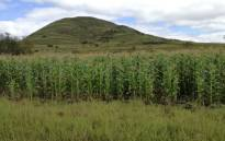 A general view of maize grown by local farmers near Mtshezi in KwaZulu-Natal. Picture: @GrainSA/Twitter.