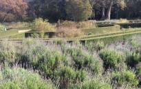 Lavender gardens at Vergelen Wine Estate. Twitter/@HarboursEndHB