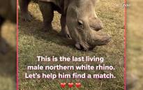 Sudan, the last remaining male northern white rhino, takes to the dating app, looking to hook up to save his species.  Picture: CNN