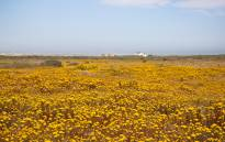 The annual wildflower bloom has again transformed the West Coast National Park into a floral wonderland. Picture: Bertram Malgas/EWN