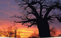 Picture: www.golimpopo.com/experience/highlights-icons/baobab-tree