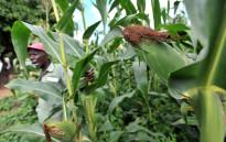 Maize. Picture: AFP.