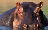 FILE: A hippo has moved into a small storage dam near the densely populated town of Chitungwiza, just outside Harare.