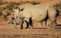 A rhino and calf at the Aquila Private Game Reserve. Picture: Supplied