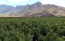 FILE: A picturesque wine farm in the Western Cape. Picture: EWN