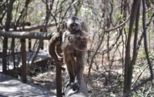 A monkey at the Bush Babies Sanctuary in Hartbeespoort. Picture: Christa van der Walt/EWN.
