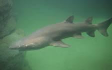A ragged-tooth shark swims in the Two Oceans Aquarium's renovated predator exhibit. Picture: Bertram Malgas/EWN