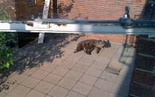 A brown Hyena spotted at the Randburg Civic Centre. Picture: Brendan via Twitter