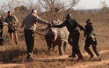 FILE: San Parks officials sedate a male white rhino before translocating it to a safer area. Picture: Vumani Mkhize/EWN.