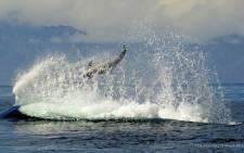FILE: A killer whale. Picture: Simon's Town Boat Company.