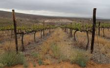 Farmers have been unable to harvest vineyards on a farm in Vredendal, Western Cape due to the current drought in the province.  Picture: Christa Eybers/EWN