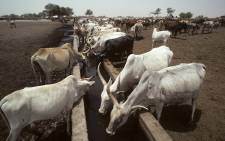 Cattle receiving water drawn from a well in the drought-stricken area of Dali. Picture: United Nations Photo.
