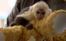Mally, the baby Capuchin Monkey brought into Germany by Justin Bieber.