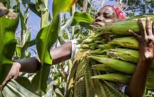 FILE: A woman harvests maize. Picture: Aletta Gardner/EWN