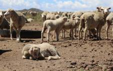Farmers in the Free State are losing hundreds of animals because of the drought. Picture: Christa Eybers/EWN.