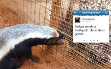 The World's First live tweeting Badger.  Picture: Joburg Zoo.