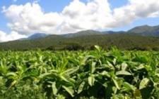A tobacco plantation. Picture: Freeimages.com