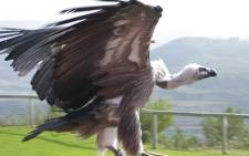 FILE: Vulture. Picture: freeimages.com