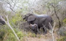 FILE: A female elephant and her calf in the Tembe Elephant Park Foundation 27 September 2017. Picture: Thomas Holder/EWN.