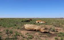 FILE: Carcas of cattle lost in the drought lie in a field in the Free State. Picture: Christa Eybers/EWN.