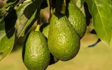 Avocados. Picture: Pixabay.com.