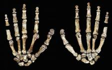 H. naledi's long, curved fingers are one of its most extraordinary features.