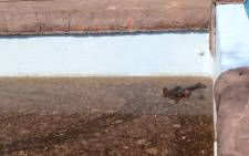 A hippo, trapped in a swimming pool at a Limpopo Game Lodge. Picture: Christa van der Walt/EWN.