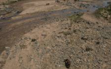Emaciated cattle roam through the dried up Umfolozi River in Ulundi in KwaZulu-Natal as drought conditions affect South Africa. Picture: AFP.