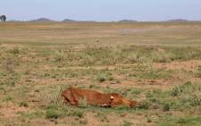 FILE: A carcass of cattle lost in the drought lie in a field in the Free State.  Picture: Christa Eybers/EWN.