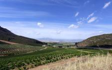 A photo taken in November 2014 shows Riebeek Kasteel, a town in the wine-growing Swartland region of South Africa. Picture: AFP.