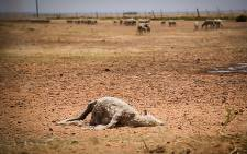 An expired sheep lies in the dusty fields of the Swartland farming district. This wheat producing area has come under pressure due to the water shortages across the country. Picture: Anthony Molyneaux/EWN