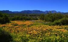 Flowers blooming in Clanwilliam in the Western Cape. Picture: Aletta Gardner/EWN.