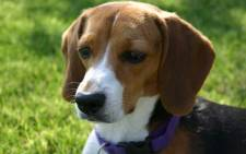 Beagle puppy. Picture: Freeimages.com