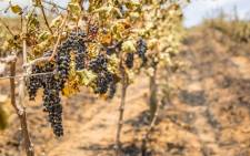 FILE: A vineyard awaiting harvest. Picture: Aletta Harrison/EWN