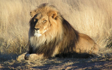 Lion. Picture: Wikimedia Commons.