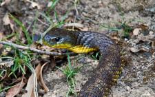 tiger-snake.jpg